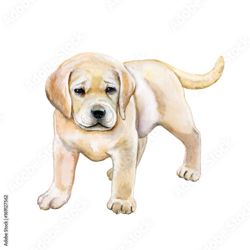 Golden Retriever Puppy Isolated On White Background Watercolor