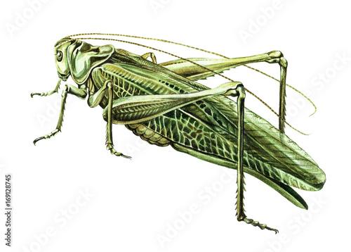 Stampa su Tela Grasshopper watercolor illustration