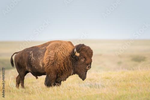 Fotobehang Natuur Park Bison