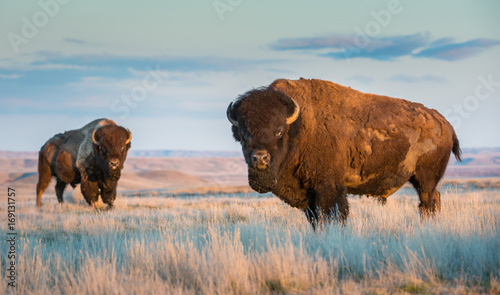 Foto op Canvas Buffel Bison