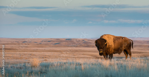Cadres-photo bureau Buffalo Bison