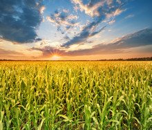 Field With Corn At Sunset