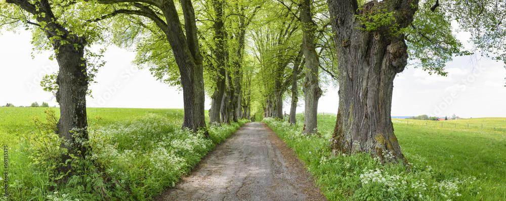 Alte Baumallee mit großen Linden Bäumen und Fußweg in Marktoberdorf
