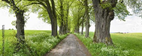stara-aleja-drzew-z-duzymi-lipami-i-chodnikiem-w-marktoberdorf