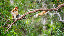 Proboscis Monkey On A Tree In The Wild Green Rainforest On Borneo Island. The Proboscis Monkey (Nasalis Larvatus) Or Long-nosed Monkey, Known As The Bekantan In Indonesia