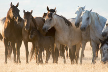 Group Of Wild Horse Mares Prot...