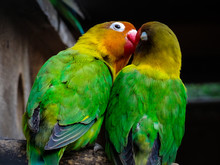 Two Beautiful Parrots Spending Time Together And Kissing