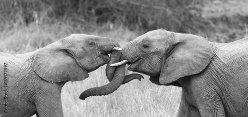Foto op Plexiglas Olifant Two elephant greet affectionate with curling and touching trunks artistic conversion