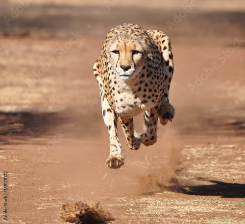 Running and exercising a cheetah, chasing a lure Fototapete