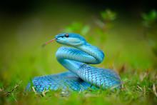 BLUE VIPER TOUNGE
