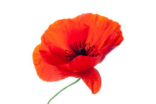 Wonderful Isolated Red Poppy F...