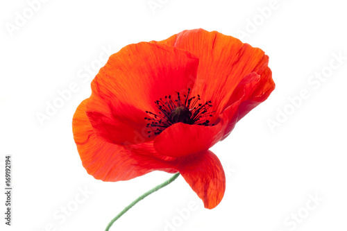 Obraz wonderful isolated red poppy flower, white background. studio shot, closeup - fototapety do salonu