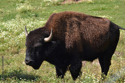 Aluminium Prints Bison Zoo Buffalo