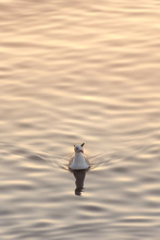 One Seagull Floating On Ripple...