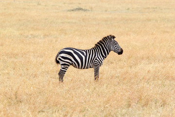 Fototapeta na wymiar Zebra (Equus burchellii)
