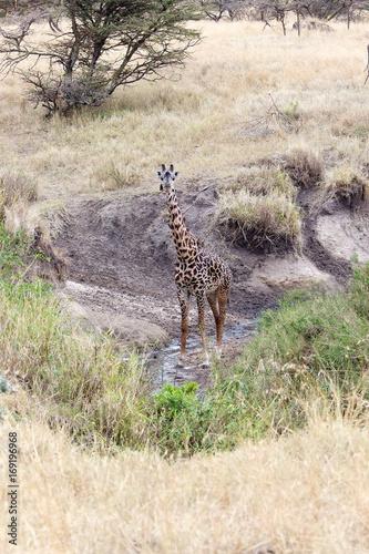 Foto op Aluminium Hyena Giraffe (Giraffa camelopardalis)