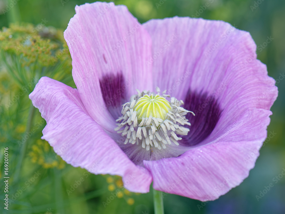 Close Up Of Purple Poppy Flower With Visible Aprts Of It Wall Mural Illusoryreality