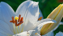 Close Up Of White Lily Flower ...