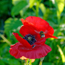 Close Up Of Red Poppy With Bum...