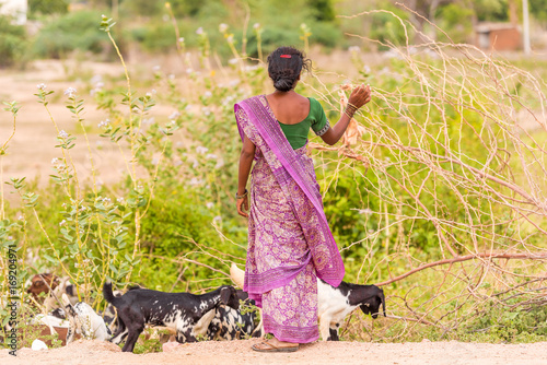Valokuva  Indian woman in a field with goats, Puttaparthi, Andhra Pradesh, India