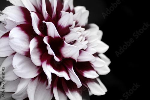 Fototapeta Dahlia Flower close up obraz na płótnie