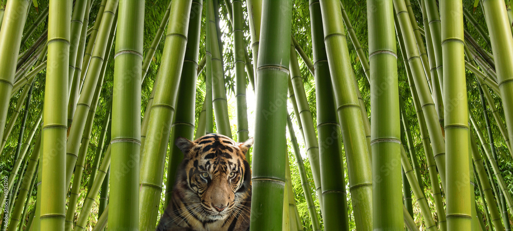 On the hunt - A sumatran tiger in a bamboo jungle.