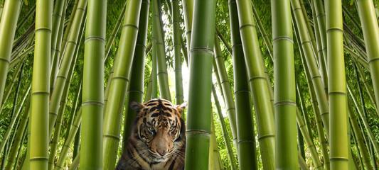 FototapetaOn the hunt - A sumatran tiger in a bamboo jungle.