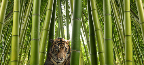 In de dag Tijger On the hunt - A sumatran tiger in a bamboo jungle.
