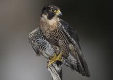 Peregrine, Falcon (falco Pereg...