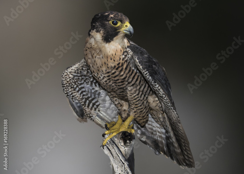 Photo Peregrine, Falcon (falco peregrinus) Perched and Ready to Hunt