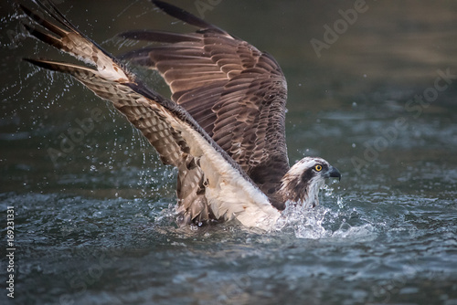 Close photograph of an osprey fishing diving into the water and half submerged