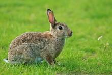 Wild Rabbit Sitting On Grass -...