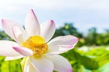 Macro Closeup Of Bright White And Pink Lotus Flower With Yellow Seedpod Inside And Blue Sky