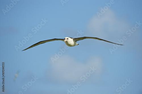 Laysan Albatross (Phoebastria immutabilis), in flight, Midway Atoll, Northwester Tablou Canvas