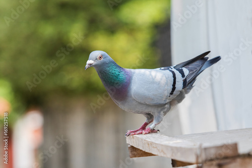 homing pigeon bird perching on home loft
