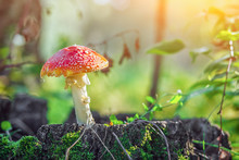 A Beautiful Large Mushroom Amanita With A Red Hat And White Foot Stands On A Hemp Covered With Moss In A Green Forest On A Summer Day. A Dangerous Mushroom In The Forest, The Sun Shines Brightly