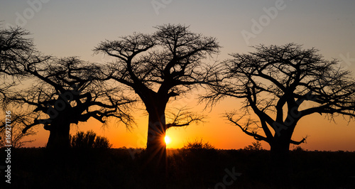 Tuinposter Baobab Sunset with Baobab Trees in Savute Botswana