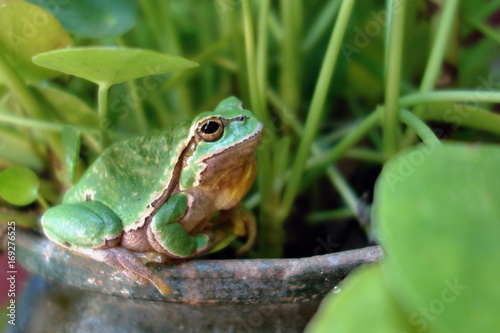 Nice green amphibian European tree frog, Hyla arborea, sitting on grass habitat Wallpaper Mural