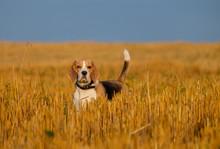 Beagle Dog On Stubble Wheat Field