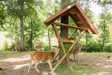 Deer Eating Grass From Feeder