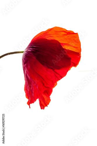 old wonderful isolated red poppy flower, white background Canvas-taulu