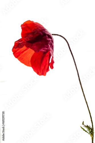 Valokuvatapetti old isolated red poppy flower, white background