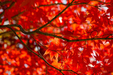 Red Autumn Maple Leaves On Tree