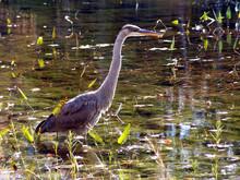 Great Blue Heron, Eagle Lake, ...