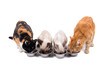 Front view of four cats, adults and kittens, eating out of silver bowls, on white