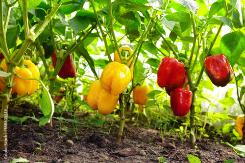 Growing sweet peppers in a greenhouse close-up. Fresh juicy red and yellow peppers on the branches close-up. Agriculture - large crop of round pepper.