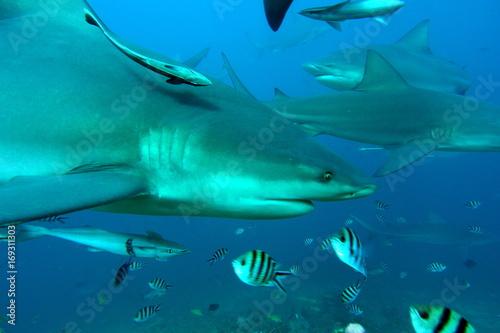 Plakat Bull rekin