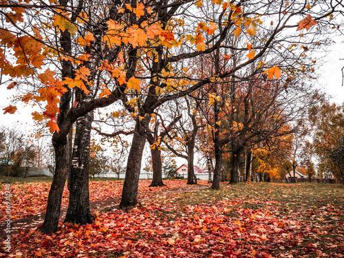 Aluminium Prints Autumn Клены в осеннем парке