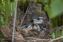 Carolina Wren Baby Birds In Nest