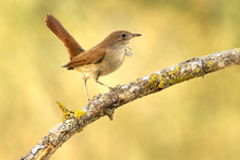 Common Nightingale. Luscinia M...